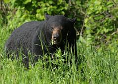 Big ole Black Bear...#2 (Guy Lichter Photography - 5.1M views Thank you) Tags: canon 5d3 canada manitoba rmnp wildlife animal animals mammal mammals bear bears blackbear explore