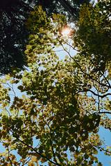 _IMG5058 (fleetingphotons) Tags: pentaxmzs sigma35mmf14art cinestill50d cinestillc41kit selfdeveloped film 35mm c41 westonbirtarboretum trees leaves camerascan