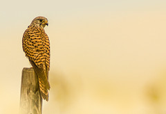 Kestrel - Falke (hardy-gjK) Tags: falke turmfalke kestrel greifvogel raptor wildlife animal tier vogel bird oiseau hardy nikon
