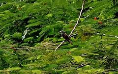 MEXICO, Yucatán ,  Tabasco, Villahermosa- Parque, 19270/11945 (roba66) Tags: urlaub reisen travel explore voyages rundreise visit tourism roba66 landschaft landscape paisaje nature natur naturalezza mexiko mexico mécico méjico nordamerika northamerica zentralamerika yukatanhalbinsel rundreise2017 yucatán tabasco villahermosa flamboyantblüten green tree baum vogel bird parc park