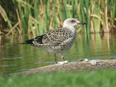 IMG_6814 (jesust793) Tags: gaviotas seagulls pájaros birds agua water
