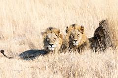 Botswana Okavango Delta (FrancescaBullet) Tags: africa park family wild color colors grass animals yellow mammal three king brothers wildlife leoni details safari felini felines botswana emotions animali