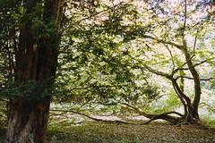 _IMG5090 (fleetingphotons) Tags: pentaxmzs sigma35mmf14art film 35mm c41 kodakportra160 selfdeveloped cinestillc41kit camerascan westonbirtarboretum trees leaves