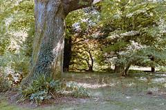 _IMG5089 (fleetingphotons) Tags: pentaxmzs sigma35mmf14art film 35mm c41 kodakportra160 selfdeveloped cinestillc41kit camerascan westonbirtarboretum trees leaves