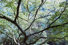 _IMG5072 (fleetingphotons) Tags: pentaxmzs sigma35mmf14art film 35mm c41 kodakportra160 selfdeveloped cinestillc41kit camerascan westonbirtarboretum trees leaves