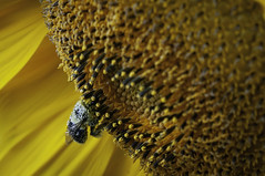 Sunflower (Dad from Hell) Tags: 2019 bumblebee canada canadarocks dadfromhell flowersplants gary garypaakkonen paakkonen photography summer bee botany d300s floral macro nature nikon ontario pollinator poolen sunflower wildlife yellow kitchener