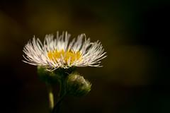 Simple Beauty (Nathalie Courteau) Tags: nature flower fleur wild weed beauty calm paix peace macro summer été plant flora