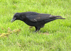 Crow at Haslam Park, Preston (Tony Worrall) Tags: birds wild wildlife grass green nature natural life bird crow feeding beak black blackbird preston lancs lancashire city welovethenorth nw northwest north update place location uk england visit area attraction open stream tour country item greatbritain britain english british gb capture buy stock sell sale outside outdoors caught photo shoot shot picture captured ilobsterit instragram photosofpreston ashtononribble ashton