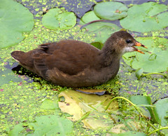 Baby moorhen on the canal at Preston (Tony Worrall) Tags: birds wild wildlife grass green nature natural life bird canal baby young moorhen float swim overgrown preston lancs lancashire city welovethenorth nw northwest north update place location uk england visit area attraction open stream tour country item greatbritain britain english british gb capture buy stock sell sale outside outdoors caught photo shoot shot picture captured ilobsterit instragram photosofpreston ashtononribble ashton