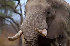 Up close (leendert3) Tags: leonmolenaar southafrica krugernationalpark wildlife wilderness wildanimal nature naturereserve naturalhabitat africanelephant mammal