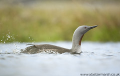 Red Throated Diver (Alastair Marsh Photography) Tags: redthroateddiver redthroateddivers redthroated redthroatedloon dive diver bird birds water waterbird shetland shetlandislands shetlands scotland scottishwildlife scottishhighlands loch lake britishwildlife britishanimals britishanimal britishbirds britishbird loon pond animal animals animalsintheirlandscape wildlife feathers feather island islands