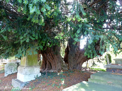 Ancient Yew - St Mary's Church, Langley, Slough (1) (karenblakeman) Tags: stmaryschurch church churchyard tree yew ancienttree langley langleymarish slough berkshire 2019 september uk