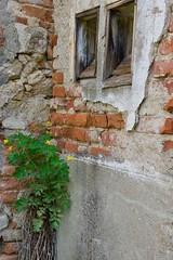 Greater Celandine(Chelidonium majus) by the Windows (Victoria Lea B) Tags: ceskyrudolec chelidoniummajus czechrepublic greatercelandine herbs masonry penikovecofarm poison toxic toxin windows