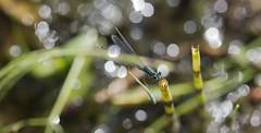 Conaegrion in bokeh (pe_ha45) Tags: conaegrion azurjungfer damselfly libellule zygoptère demoiselle libelle schachtelhalm