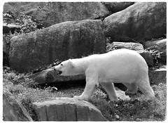 MD Zoo ~ Polar Bear (karma (Karen)) Tags: baltimore maryland mdzoo polarbear rocks mono bw hss topf25