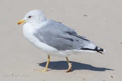 California Gull - Adult - September (aaabela) Tags: adult aves california californiagull charadriiformes chordata laridae larus laruscalifornicus pismobeach sanluisobispocounty september bird californicus gull