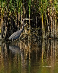 Great Blue Heron at the Plains (wfgphoto) Tags: greatblueheron pond water fishing wading