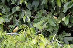 Black-capped donacobius (Kusi Seminario) Tags: angú bird ave pajaro wildlife nature outdoors lake lago sandoval tambopata madrededios peru perú southamerica sudamerica rainforest selva jungle canon eos 7dmarkii 100400