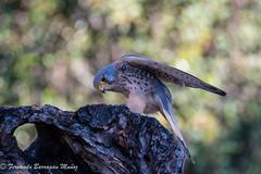 Cernicalo (barragan1941) Tags: cernicalo raptors rapaces birds aves nature naturaleza