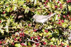 Eastern Olivaceous Warbler at Farlington Marsh (ejwwest) Tags: