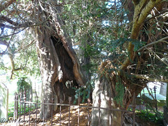 Ancient Yew - St Mary's Church, Langley, Slough (3) (karenblakeman) Tags: stmaryschurch church tree yew ancienttree langley langleymarish slough berkshire 2019 september uk