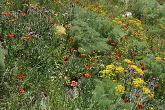 Spring wildflowers on a rocky slope, Sevanavank peninsula, Sevan, Armenia (jmlwinder) Tags: araratours armenia2019 miscellany sevanavankսեանավանք wildflowersofarmenia multicolored red yellow purple flowers springflowers poppies fennel thistles
