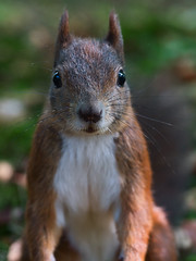 Stupsnase (Naturportal) Tags: panasonic dmcgx8 olympus m60mm f28 macro eichhörnchen squirrel animal natur tier nature makro