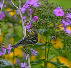 Blackburnian Warbler (Summerside90) Tags: birds birdwatcher warblers blackburnianwarbler september summer fallmigration backyard garden nature wildlife ontario canada