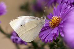 Papillon (clamar18) Tags: insecte jardin mery papillon pieride butterffly blanc france vierzon