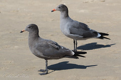 Heermann's Gull - (Front) 2nd Year and 3rd Year - September (aaabela) Tags: 2ndyear 3rdyear aves california charadriiformes chordata heermannsgull laridae larus larusheermanni pismobeach sanluisobispocounty september bird gull heermanni