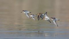 Ich und die anderen.. (wsprecher) Tags: limikolen vögel wildlife wsnaturpic bodensee calidris minuta