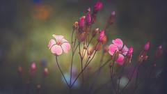 wildflowers (Dhina A) Tags: sony a7rii ilce7rm2 a7r2 a7r kaleinar mc 100mm f28 kaleinar100mmf28 5n m42 nikonf russian ussr soviet 6blades manualfocus