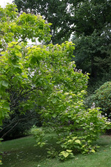 MRP_4880 (preedyphotos) Tags: westonbirt arboretum trees flowers blooming branches bark shapes nature outside woodland view blossom old oldarboretum martinpreedy canon eos1dx august 2019
