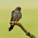 Redfooted Falcon 2019-06-04_17