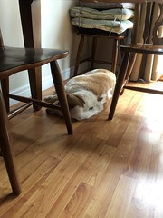 Lazy dazy (ladybugdiscovery) Tags: nutmeg bassethound zzzzz dog sleep sleepingdog