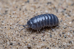 _IMG0017 Pill Woodlouse - Armadillidium vulgare (Pete.L .Hawkins Photography) Tags: pill woodlouse armadillidium vulgare petehawkins petelhawkinsphotography petelhawkins petehawkinsphotography 150mm macro pentaxpictures pentaxk1 petehawkinsphotographycom rotherhamphotographer irix f28 11 fantasticnature fabulousnature incrediblenature naturephoto wildlifephoto wildlifephotographer naturesfinest unusualcreature naturewatcher minibeast tiny creatures creepy crawly bug wildlife insectphoto bugphoto insect invertebrate 6legs compound eyes uglybug bugeyes