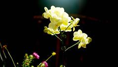orchid (bluebird87) Tags: nikon f100 film dx0 c41 epson v800 kodak ektar jobo lightroom flower