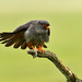 Redfooted Falcon 2019-06-04_19