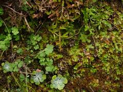 Spikemoss, liverwort, stonerop (Bushman.K) Tags: estacadalake plant spikemoss liverwort stonecrop taxonomy:binomial=selaginelladouglasii taxonomy:binomial=pellianeesiana