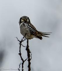 owl (barragan1941) Tags: birds owl mochuelos aves lechuzas nature winter
