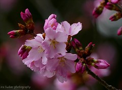 History is the sum total of the things.... (itucker, thanks for 5+ million views!) Tags: macro bokeh cherry blossom cherryblossom prunus dukegardens firstlady coth5