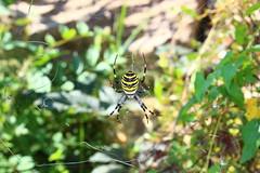 tiger spider 1 (danielsan14) Tags: tiger spider ragno tigre aracnide tela ragnatela