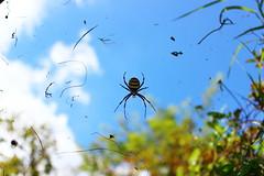 tiger spider 2 (danielsan14) Tags: tiger spider ragno tigre aracnide tela ragnatela