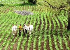 DSCN1383 (premachandranthane) Tags: ploughing bullocks