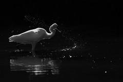 Egret at Lodmoor (Robin M Morrison) Tags: littleegret backlit water droplet fishing rspblodmoor
