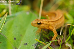 Smooth Newt (Lissotriton vulgaris) (gcampbellphoto) Tags: smooth newt lissotriton vulgaris donegal amphibian ireland nature wildlife biodiversity gcampbellphoto