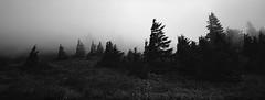 On Dog Mountain, Columbia River Gorge, Washington (austin granger) Tags: dogmountain columbiarivergorge washington oregon trees fog wind film xpan