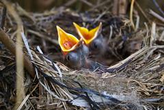 92130975 (caylalambert25) Tags: blackbirds nestlings juveniles hungry feedingtime birdsnest nest dependent bush food beaks fluro nestingseason nestingmaterial