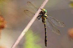 7DM26766 (chogori20) Tags: nature insecte animal libellule dragonfly