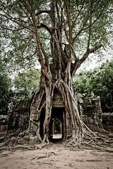 Tomb rider Tree (sebastiengildo) Tags: cambodge tomb rider tree siem reap